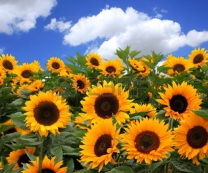 3493335-bunch-of-sunflowers-in-a-field-on-a-sunny-day